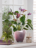 Anthurium andreanum 'Love' - Serie (Flamingoblume)