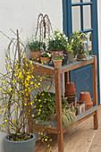 Jasminum nudiflorum (Winterjasmin), Galanthus (Schneeglöckchen)