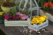 Primula acaulis (Frühlingsprimeln), Viola odorata (Duftveilchen)