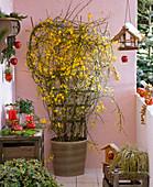 Jasminum nudiflorum (Winterjasmin) blühend am Spalier