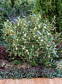 Camellia sinensis (Teestrauch), einfache weiße Blüten