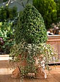 Buxus (Buchs - Pyramide) unterpflanzt mit Hedera (Efeu)