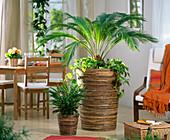 Cycas revoluta (Sagopalme) unterpflanzt mit Epipremnum