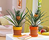 Ananas comosus (Ananas) in teilweise glasierten Terrakotta - Töpfen