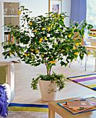 Abutilon (Schönmalve) unterpflanzt mit Hedera (Efeu)