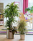 Dracaena fragrans (Drachenbaum), unterpflanzt mit Maranta leuconeura