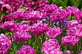 Tulipa 'Lilac Perfection' (Tulpen)