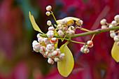 Euonymus fortunei 'Coloratus' (Kletterspindel)