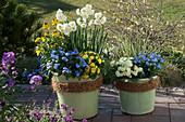 Frühlingsflirt : Myosotis 'Myomark' (Vergißmeinnicht), Primula Belarina