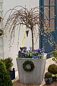 Salix caprea 'Pendula' (Hängende Kätzchenweide) unterpflanzt