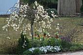 Blühende Salix caprea 'Pendula' (Kätzchenweide), Fritillaria imperialis