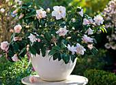 Camellia japonica 'Hagoromo' (Kamelie)