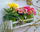Primula acaulis (Frühlingsprimeln) auf weißem Wandregal
