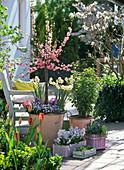 Prunus triloba (Mandelbäumchen) unterpflanzt mit Narcissus