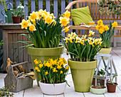 Narcissus 'Sunshine' 'Trena' 'Tete a Tete' (Narzissen)