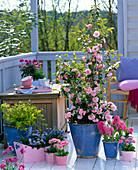 Camellia japonica 'Spring Festival' (Kamelie), Hyacinthus