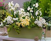 Iberis 'Zwergschneeflocke' 'Snowball' (Schleifenblumen), Narcissus 'Nir'