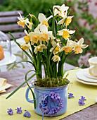 Narcissus 'Kate Heath' (Narzissen) in emailliertem Milchtopf