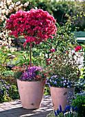 Rhododendron 'Toreador' (Japanische Azalee - Stamm)