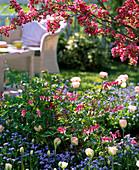 Dicentra spectabilis (Tränendes Herz), Tulipa 'Angelique' (Tulpen)