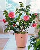 Camellia japonica 'Elegans' (Kamelie)