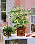 Sparmannia (Zimmerlinde), Ficus pumila (Kletterfeige) in Korb - Übertöpfen