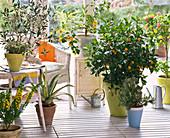 Wintergarten mit Citrus (Calamondine, Zitrone), Olea (Olive), Agave