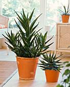 Aloe in orangen Übertöpfen auf dem Boden