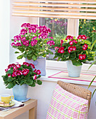Pelargonium grandiflorum Surfin 'Crimson' (auf Tisch), 'Purple' 'Red' (Geranien)