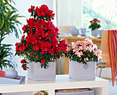 Rhododendron simsii (Zimmerazaleen), Pyramide und Halbkugel in Stofftaschen