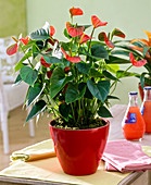 Anthurium 'Sempre' (Flamingoblume), Tücher