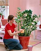 Frau reinigt Blätter von Zamioculcas zamiifolia mit feuchtem Lappen