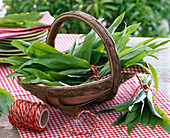 Frisch geernteter Allium ursinum (Bärlauch) gebündelt in Korb