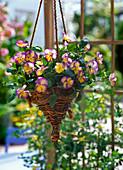 Viola cornuta 'Etain' (Hornveilchen) in Ampelkorb