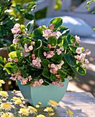 Begonia Gumdrop 'Cherry Blossom' (Begonie)