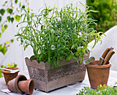 Artemisia dracunculus (tarragon)