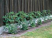 Tomaten an Schnüren aufleiten, Bewässerungssystem mit Microdrip-System