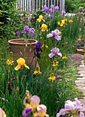 Iris barbata elatior (Bartiris), Asphodeline lutea (Junkerlilie)