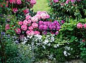 Rhododendron 'Alfred' 'Tina Heinje' 'Silberwolke' (Alpenrosen)