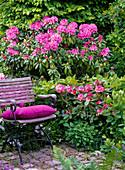 Rhododendron 'Catawbiense Boursault' 'Anuschka' (Alpenrosen)