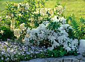 Rhododendron 'Schneegold' 'Schneewittchen' (Garten - Azaleen)