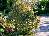 Acer palmatum 'Dissectum Viride' (grünblättriger Schlitzahorn)