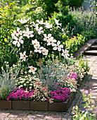 Hibiscus rosa-sinensis (Roseneibisch) im Sommer ins Beet gesetzt