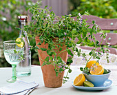 Fruit herbs, Nepeta fassenii 'Grog' (Lemon catnip)