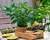 Fruchtkräuter : Salvia rutilans (Ananassalbei)