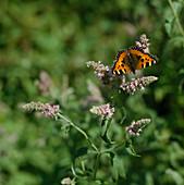 Aglais urticae (Kleiner Fuchs) auf Mentha longifolia (Rossminze)