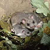 Glis glis (Siebenschläfer) im Nest mit Jungen