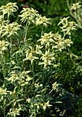 Leontopodium alpinum (Alpen - Edelweiß)
