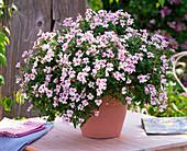 Pelargonium pac Angeleyes 'Light' (Engelsgeranie)