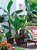 Musa sikkimensis (Darjeeling Banane), Musa ensete (Zierbanane)